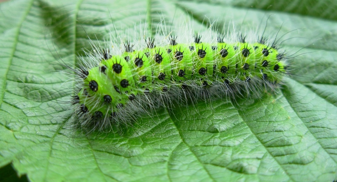 Io Moth Caterpillar Гусеница